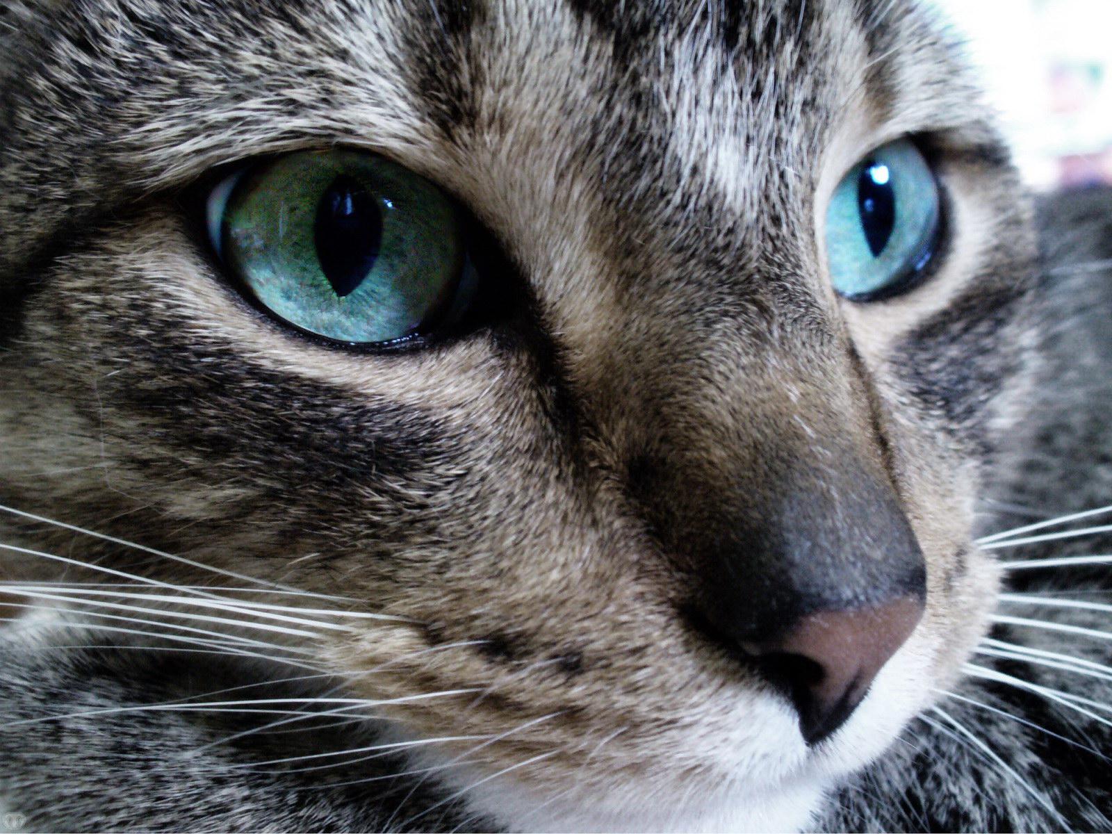 Chats aux yeux bleus