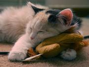 Chat mignon peluche