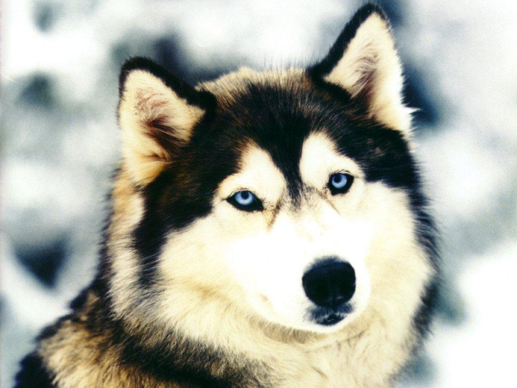 """Résultat de recherche d'images pour """"chien loup"""""""