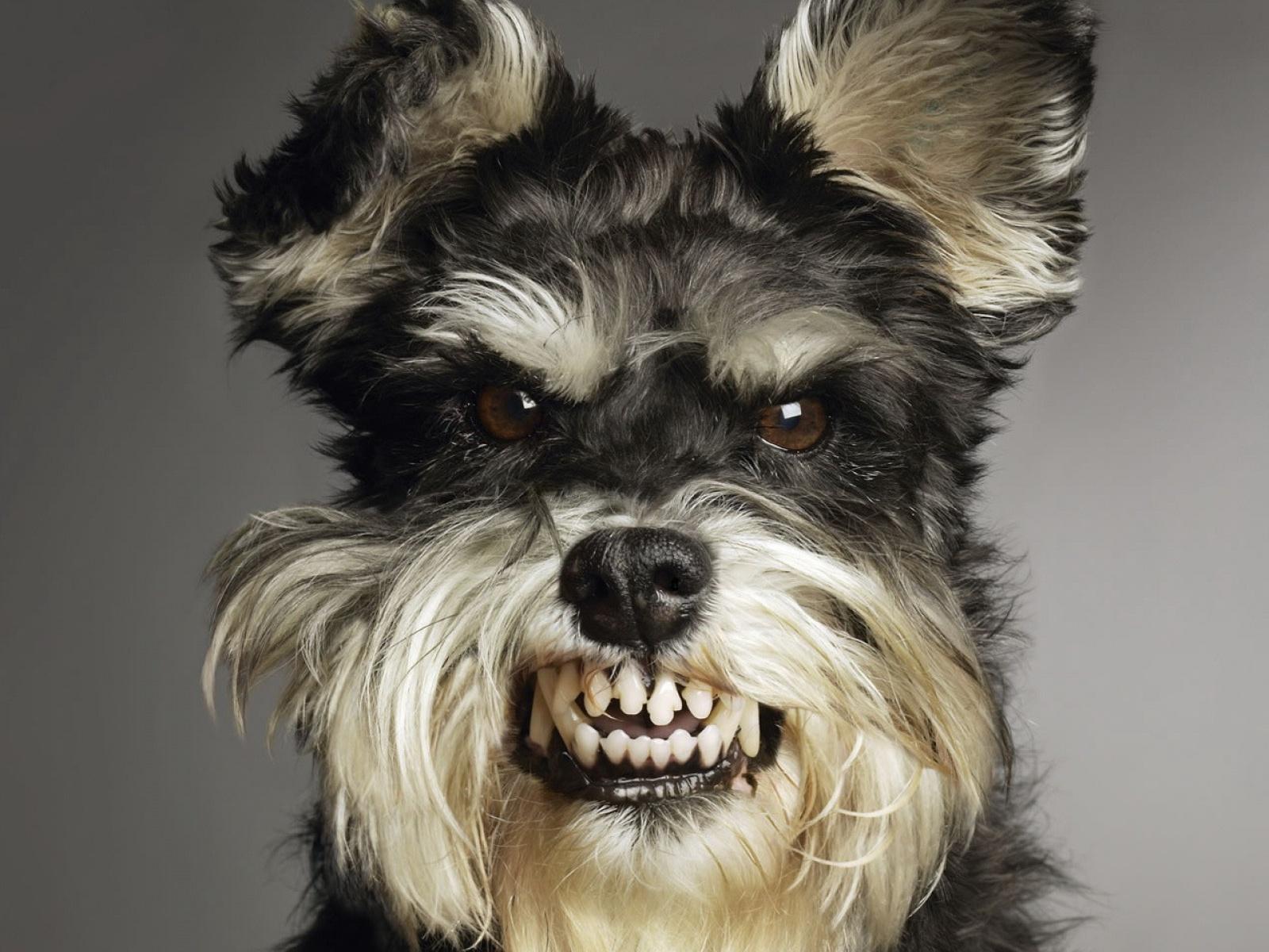Le plus féroce de tout les chiens... Mouk!