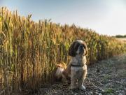 Chien et champs de bl�