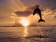 Dauphin vers le soleil