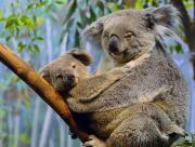 Koala et son petit