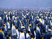 Foule de pingouins