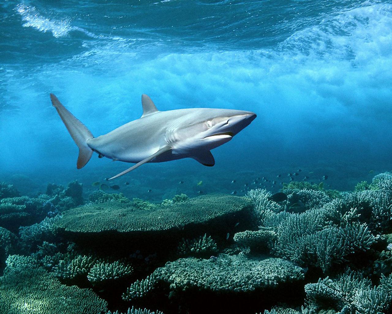 Fond D Ecran Shark Requin Blanc Wallpaper