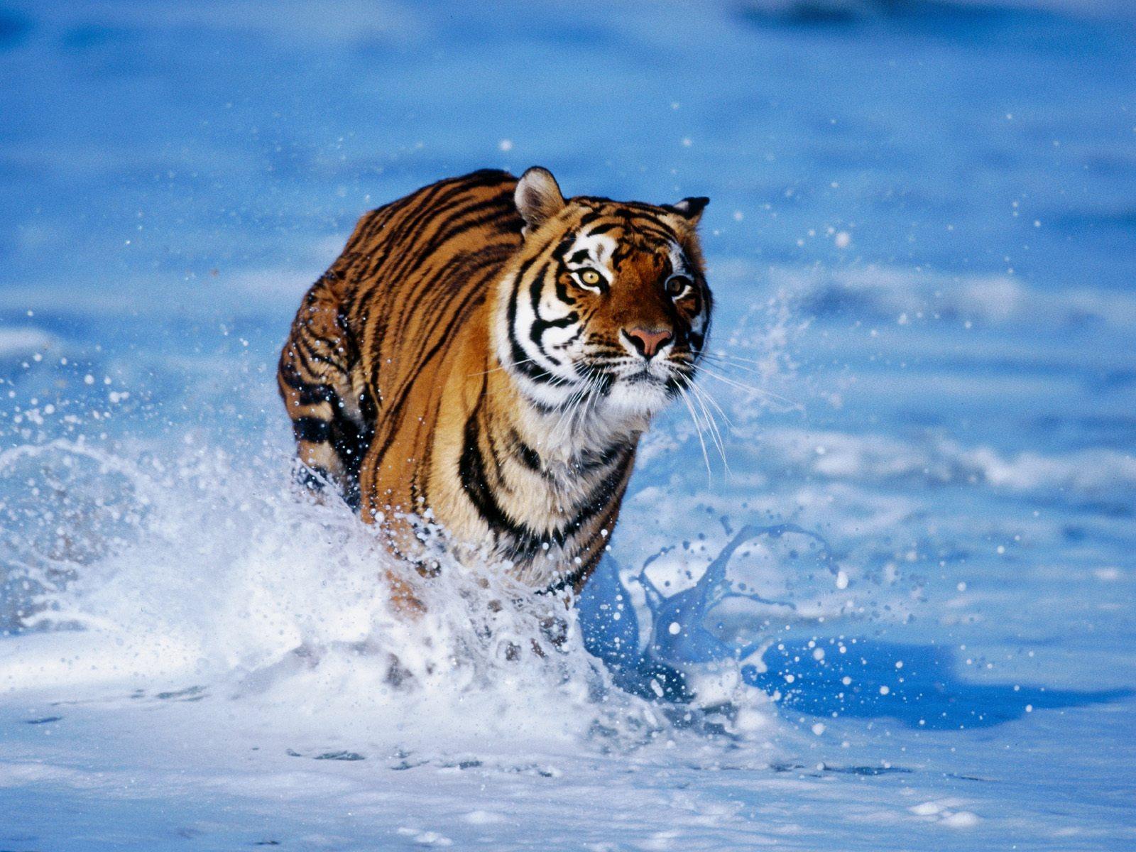 Son bureau aller à la liste complète des fonds d écran de tigre