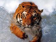 Tigre dans l'eau