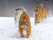 Tigres dans la glace