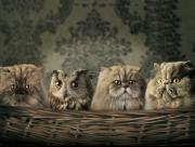 Chat ou hibou