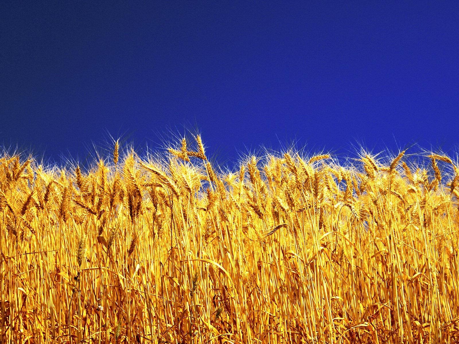 желтое поле обои