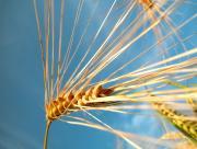 Epis de blé jaunes
