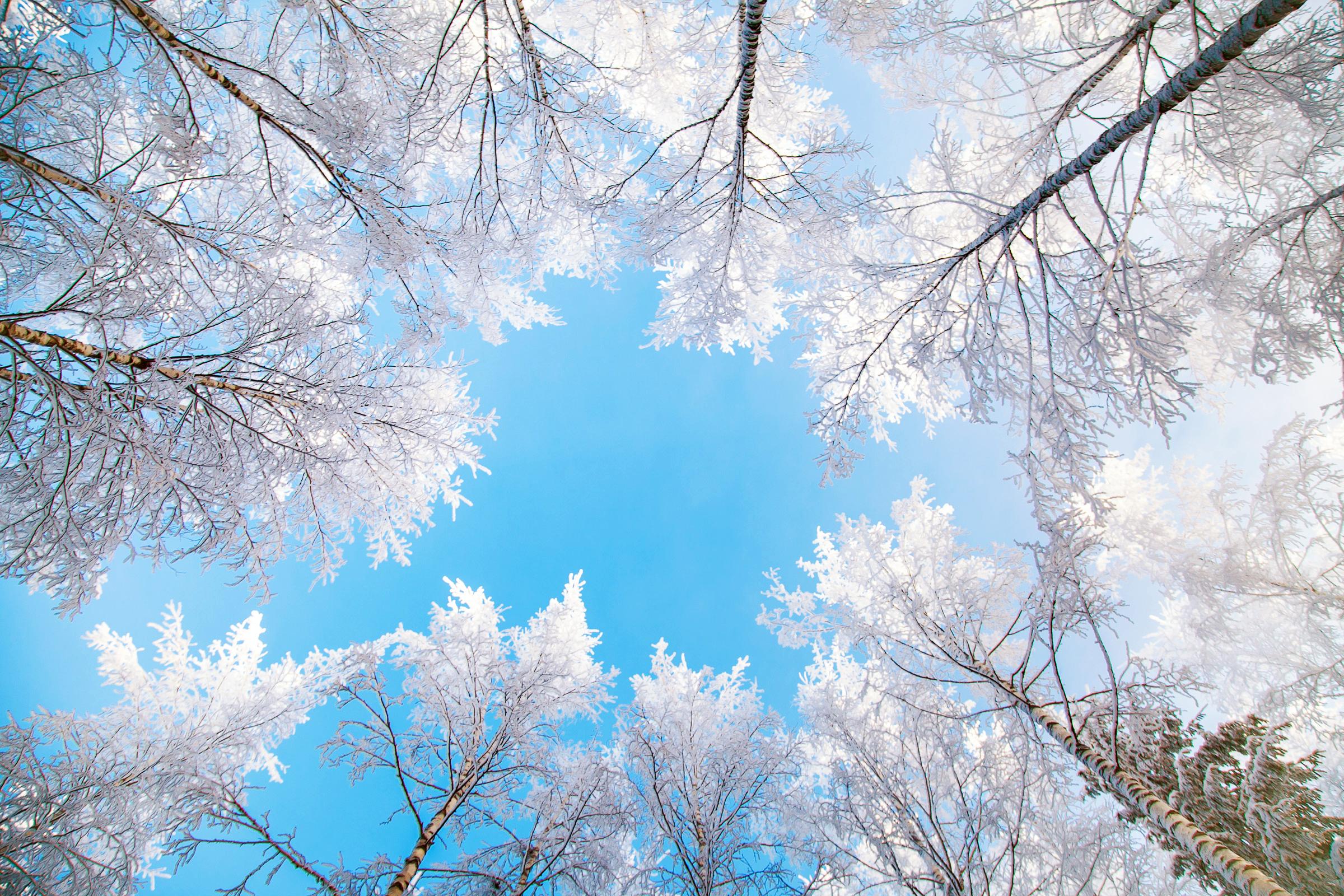 Fond d'ecran Cimes d'arbres enneigés - Wallpaper