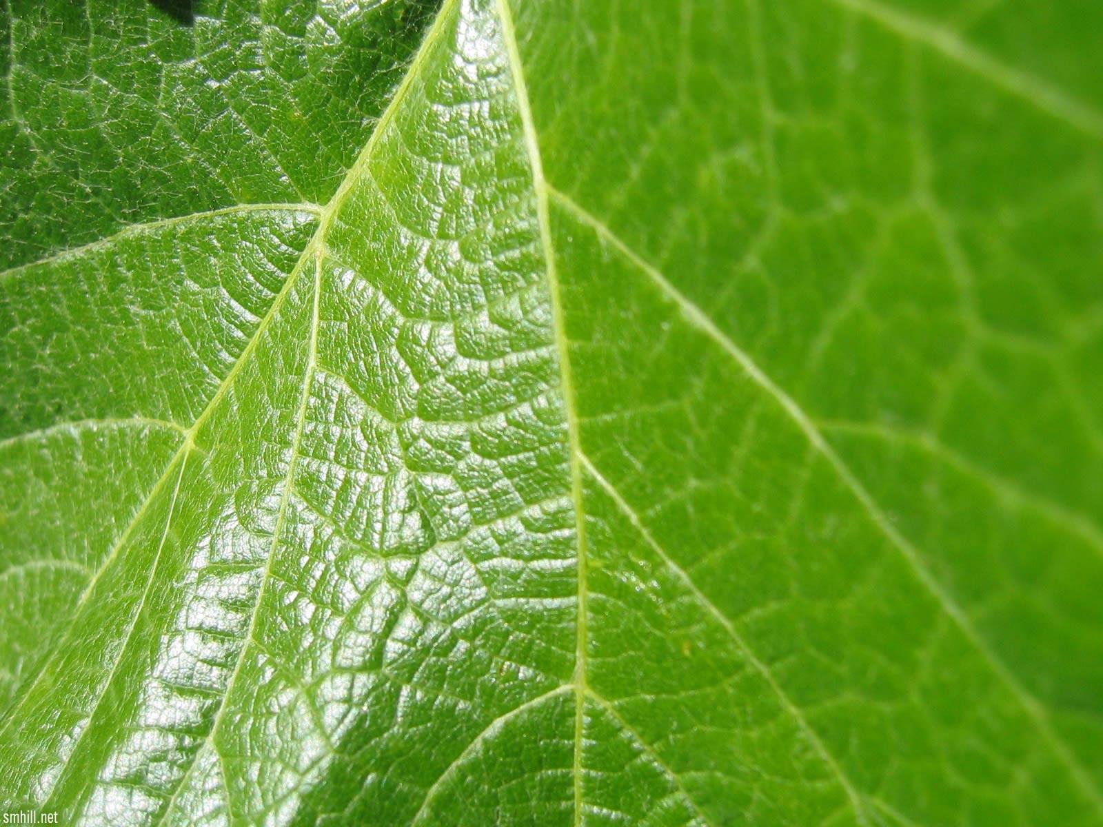 Fond d 39 ecran zoom plante verte wallpaper for La plante verte
