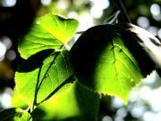 Feuilles vertes sous le soleil
